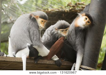 Three Red-shanked douc langur on the tree