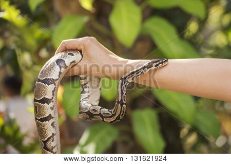 A poisonous snake in the hands of man