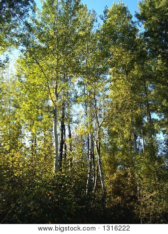 Birch Trees In Evening