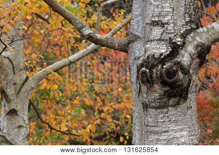 Tree Trunk Looks Like Smiling Face In Garden
