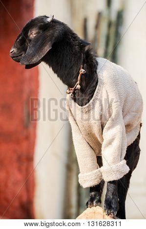 Small dressed goat portrait in Varanasi, India