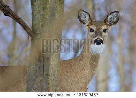 Beautiful picture with a cute wild deer in the forest looking into the camera