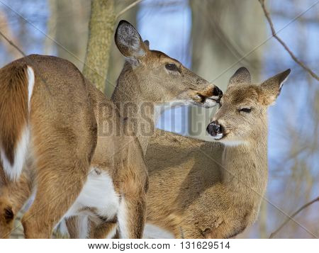 Beautiful funny background with a pair of the cute wild deers in the winter
