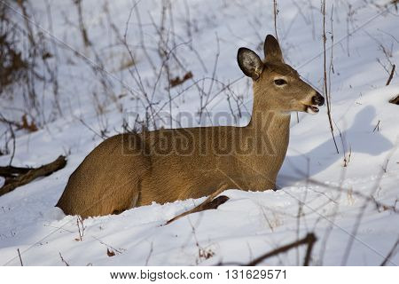 Beautiful photo of the deer on the snow looking aside and eating something