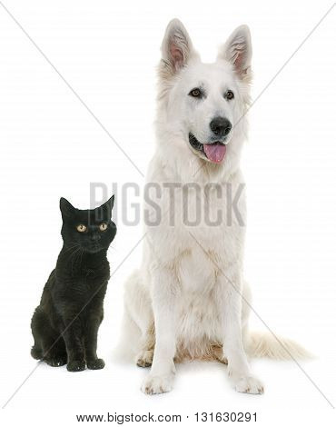 White Swiss Shepherd Dog and black cat in front of white background