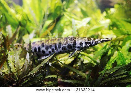 Spotted Gar (Lepisosteus oculetus) in an aquarium