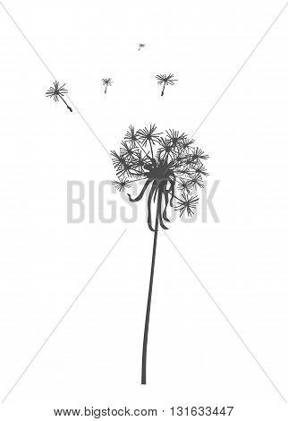 Gray dandelion silhouette - modern vector illustration.