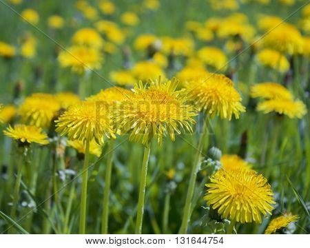 Yellow spring dandelions in the wild meadow. Wild flowers, bright natural background
