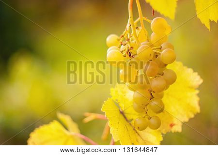 Bunch of white grapes on the vine. Close-up.
