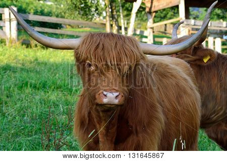 Scottish Highland cattle on a green pasture