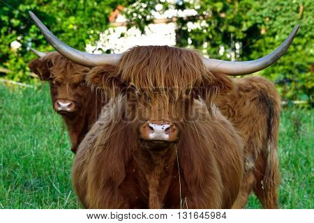 Highland Cattle on the green pasture - portrait