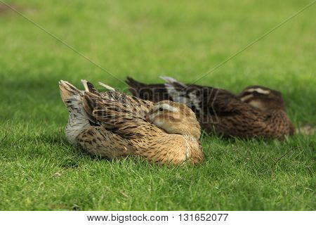 Two ducks lie on a green lawn and put their heads to plumage