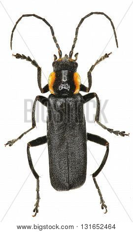 Black Soldier Beetle on white Background  -  Cantharis obscura (Linnaeus, 1758)