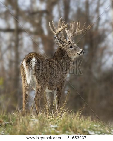 Trophy sized white-tailed deer buck in rut, standing on a hillside.  Autumn in Wisconsin