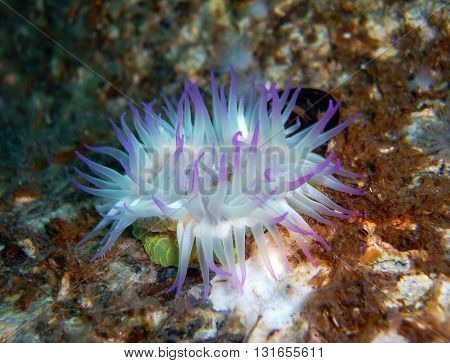 Purple Anemone found off of central California's Channel Islands.