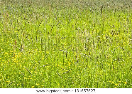 Colorful meadow with buttercups in the spring sunshine. Colorful tall grass on a sunny day.