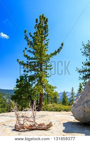 Tree At Tioga Pass, Yosemite National Park, Sierra Nevada, Usa