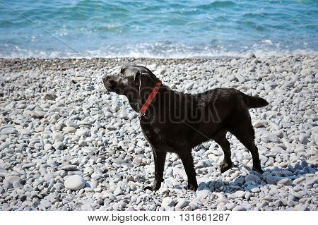 young black retriever stand on the pebble shore