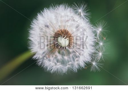 Dandelion With Blowing Seeds