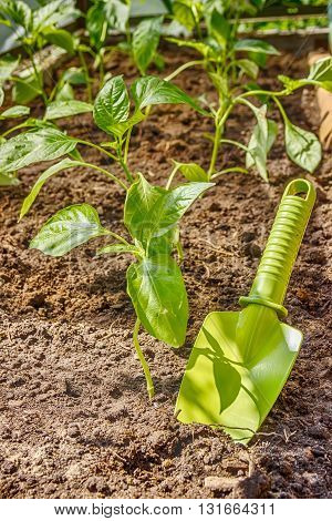 Seedlings Of Pepper On The Bed And Garden Shovel Stuck