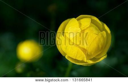 Globe flowers (Trollius europaeus), a perennial garden favourite.