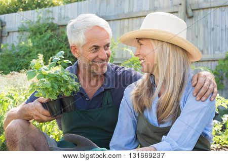 Smiling mature couple gardening together. Senior couple wearing straw hat and planting basil in the garden. Man hugging his woman in the garden.
