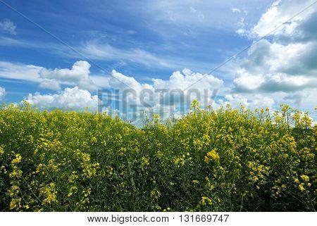 Rape crop in farmers field with summer blue sky