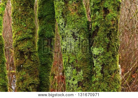 a picture of an exterior Pacific Northwest forest mossy maple tree trunks  with mo