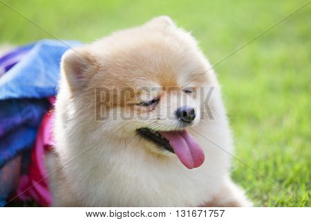 Pomeranian dog on the lawn it wear clothes for dog and clothes of pom has ping and blue color.pom closed its eyes.