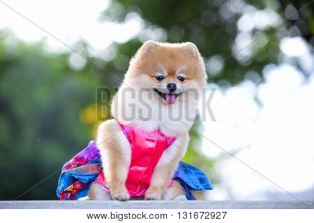 A beautiful little full body of a Pomeranian dog with cute expression in the face standing and watching other dogs in the park outdoors