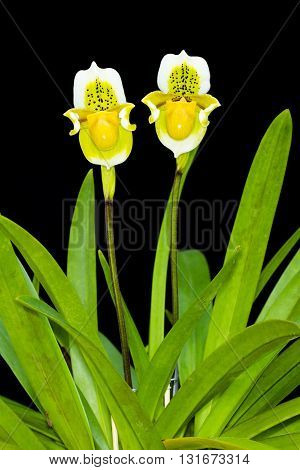 Paphiopedilum exul Paphiopedilum orchid flowers with two on Black background.