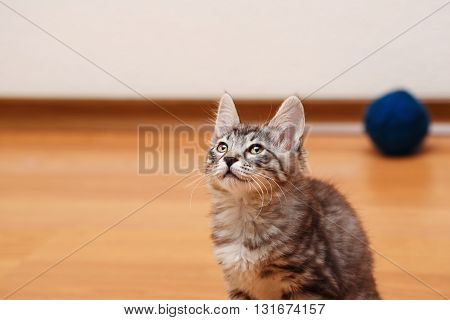 Kuril Bobtail kitten gray looking up. Thoroughbred cat. Cute and funny kitten. Pet.