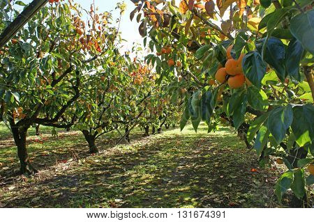Persimmons growing in a persimmon orchard, on a sunny day.