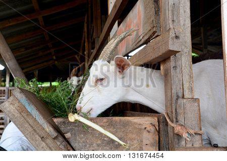 Goat in the paddock, Goat In The Paddock Farm.