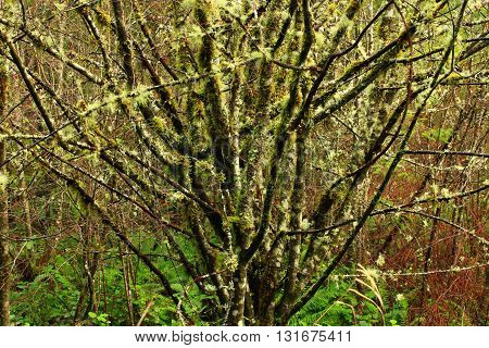 a picture of an exterior Pacific Northwest mossy hazelnut tree in winter