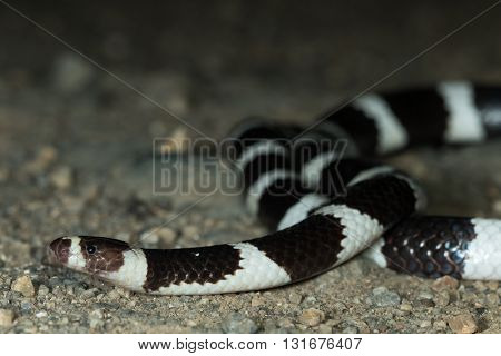 Bandy bandy (Vermicella annulata), a mildly venomous, nocturnal Australian snake with distinctive black and white bands.