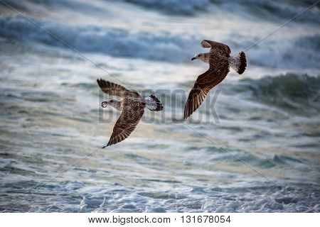 Flying seagull over the blue sea on sunrise