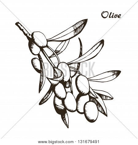 Vector sketch of olive tree branch, hand drawn
