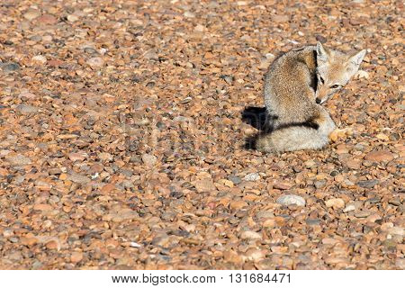 Grey Fox Relaxing On The Beach In Patagonia