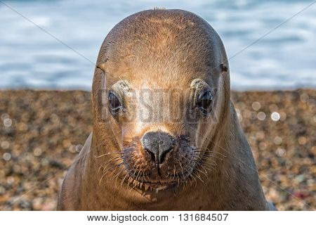 Sea Lion Seal Close Up Portrait Look At You