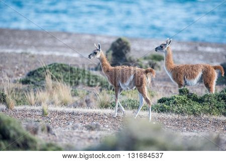 Guanaco Portrait In Argentina Patagonia Close Up