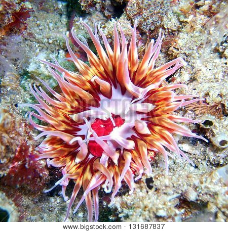 Red and orange Urticina mcpeaki Anemone found off of central California's Channel Islands.
