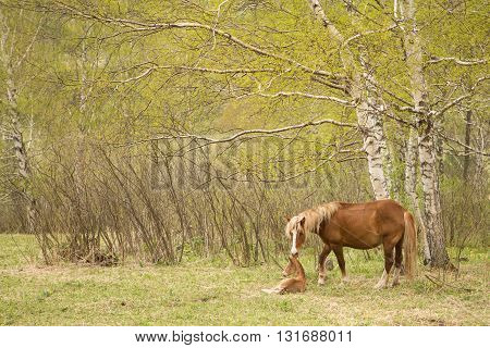 Mare and foal on a green meadow in the forest