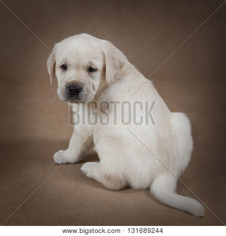 Labrador puppy six weeks old sitting in front of beige background and looks to something