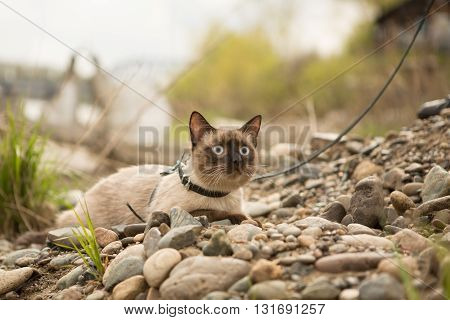 Beautiful cat, Siamese, on the rocks on the leash