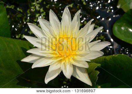 Lotus rare flower. Symbol of purity in nature