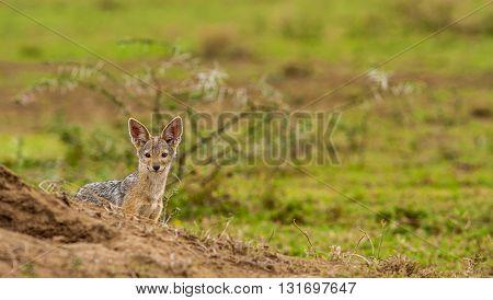 Black backed jackal hiding behind a termite mound