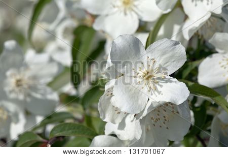 Closeup, macro of a jasmine flowers on a bush. Flowers and leaves in the background. Summer.