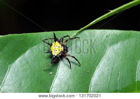 close up of the spider (doe) on spider-web