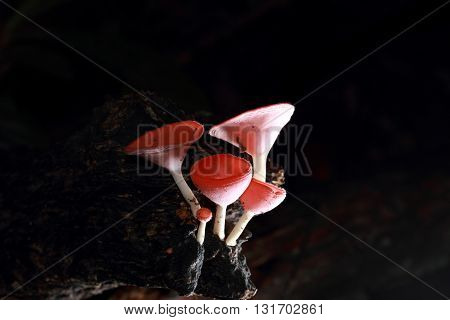 Champagne mushroom (coat mushroom or mushroom hair) in a forest